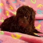 Truffles Girl #1..SALE PENDING! Corso Family FL