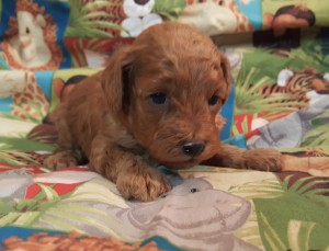 Mindy BOY..SALE PENDING! Maupin Family OH