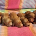 Twinkie ALL  Pups
